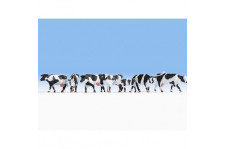 Vaches - blanches & noires - H0